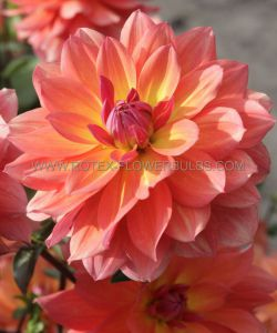 DAHLIA DECORATIVE 'FIREPOT' I (25 P.CARTON)