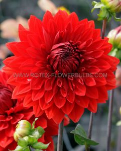 DAHLIA DECORATIVE 'GARDEN WONDER' I (25 P.CARTON)