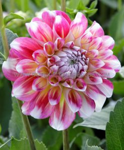 DAHLIA DECORATIVE 'HAWAII' I (25 P.CARTON)
