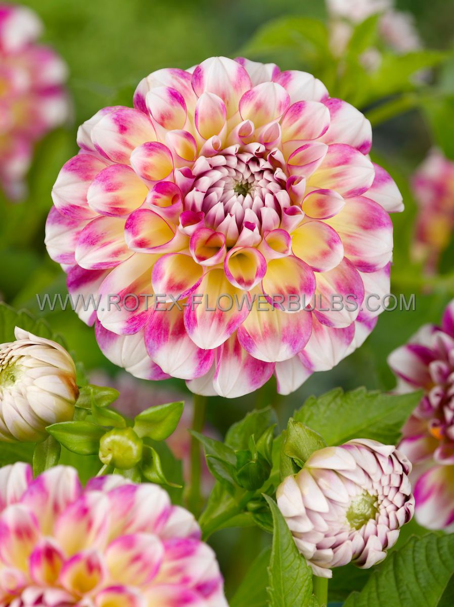 dahlia decorative hawaii i 25 pcarton