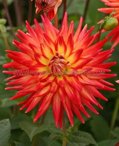 DAHLIA DECORATIVE 'KARMA BON BINI' I (25 P.CARTON)