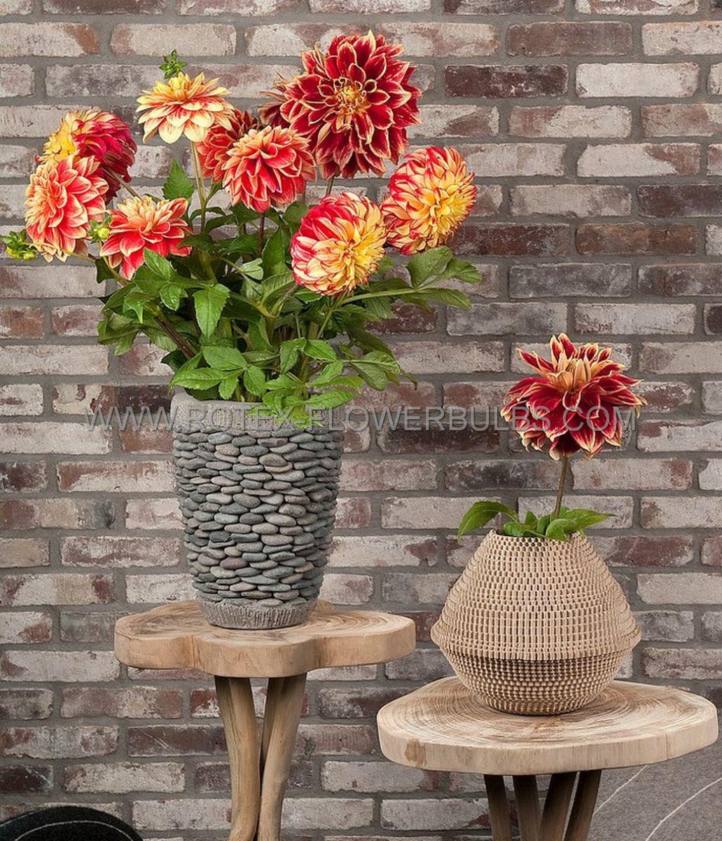 dahlia decorative karma bon bini i 25 pcarton