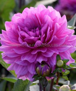 DAHLIA DECORATIVE 'KARMA LAGOON' I (25 P.CARTON)