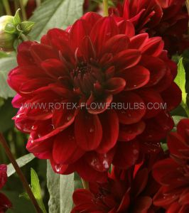 DAHLIA DECORATIVE 'KARMA NAOMI' I (25 P.CARTON)