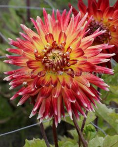 DAHLIA DECORATIVE 'MANHATTAN ISLAND' I (25 P.CARTON)