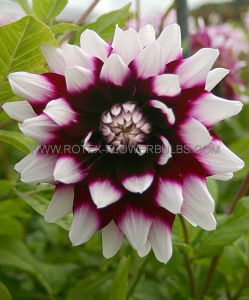 DAHLIA DECORATIVE 'MYSTERY DAY' I (25 P.CARTON)