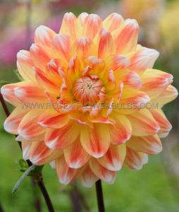 DAHLIA DECORATIVE 'PEACHES & CREAM' I (10 PKGS.X 1)