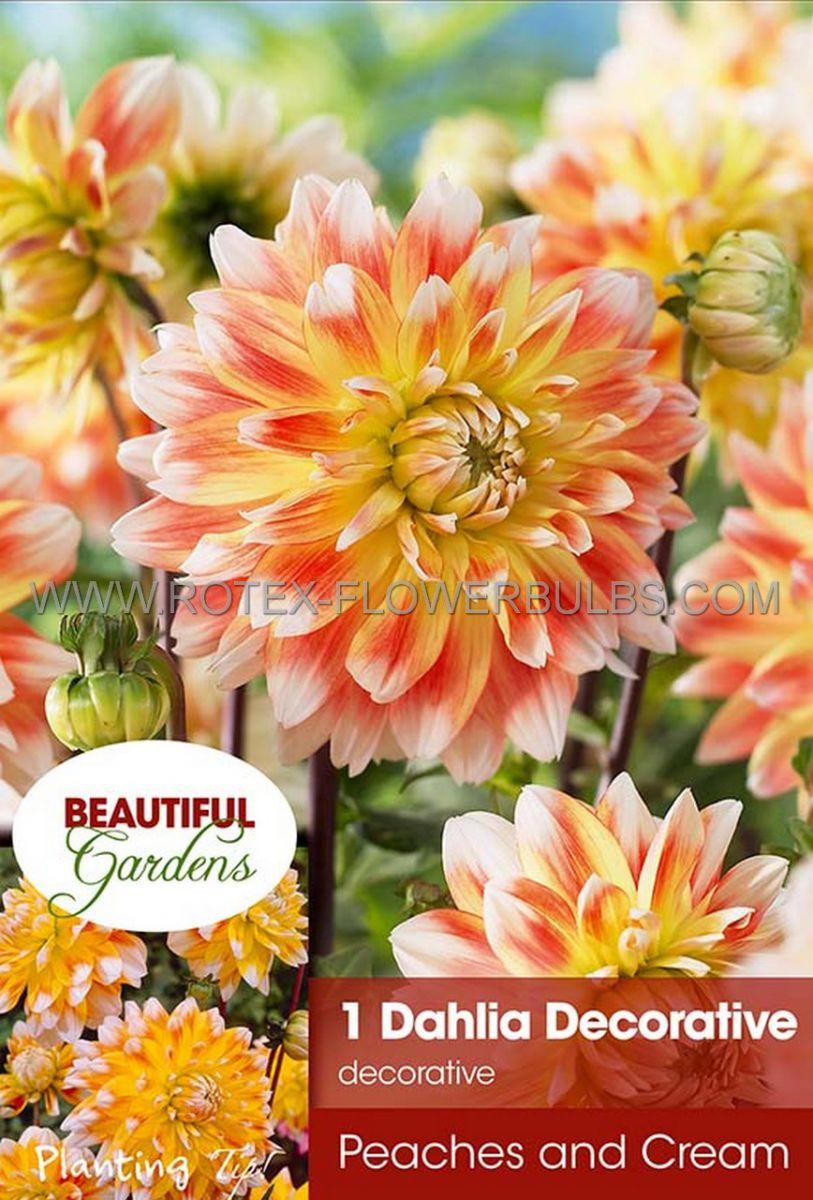 dahlia decorative peaches cream i 10 pkgsx 1