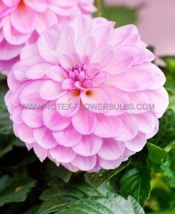 DAHLIA DECORATIVE 'PETER' I (25 P.CARTON)..