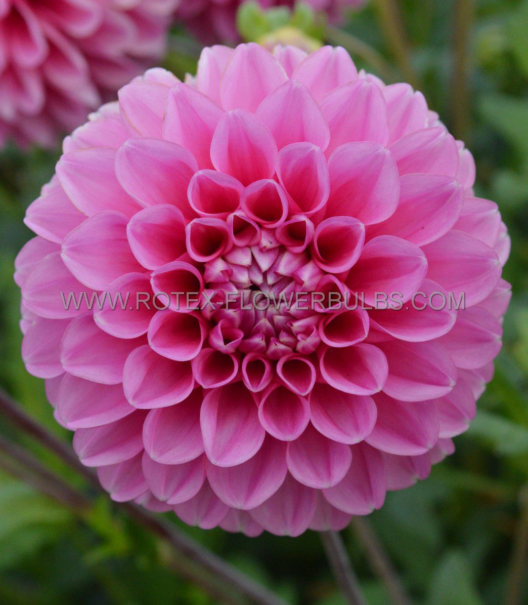 dahlia decorative peter i 25 pcarton