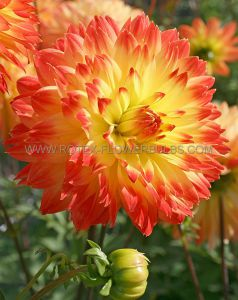 DAHLIA DECORATIVE 'PROCYON' I (25 P.CARTON)