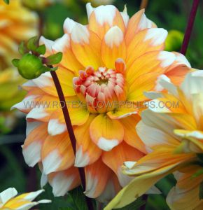 DAHLIA DECORATIVE 'SEATTLE' I (15 P.OPEN TOP BOX)