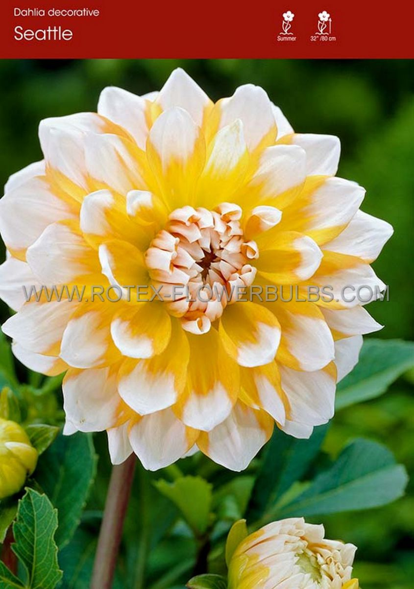 dahlia decorative seattle i 15 popen top box