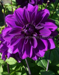 DAHLIA DECORATIVE 'THOMAS A. EDISON' I (25 P.CARTON)