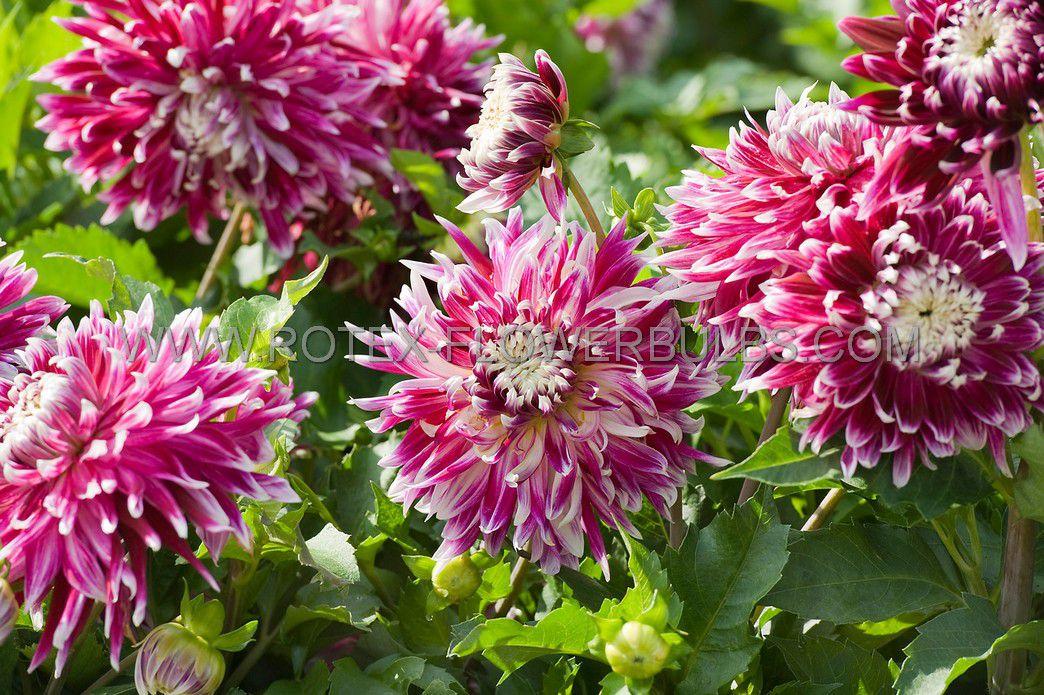 dahlia decorative vancouver i 10 pkgsx 1