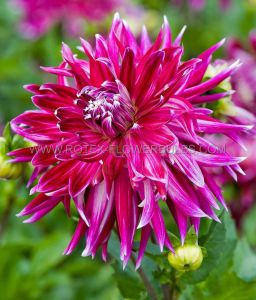 DAHLIA DECORATIVE 'VANCOUVER' I (15 P.OPEN TOP BOX)