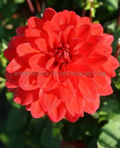 DAHLIA DECORATIVE 'VERWERS HEATWAVE' I (25 P.CARTON)