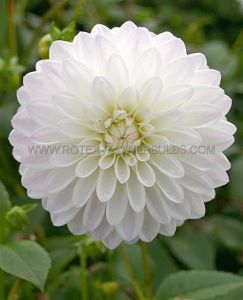 DAHLIA DECORATIVE 'WITTEM' I (25 P.CARTON)