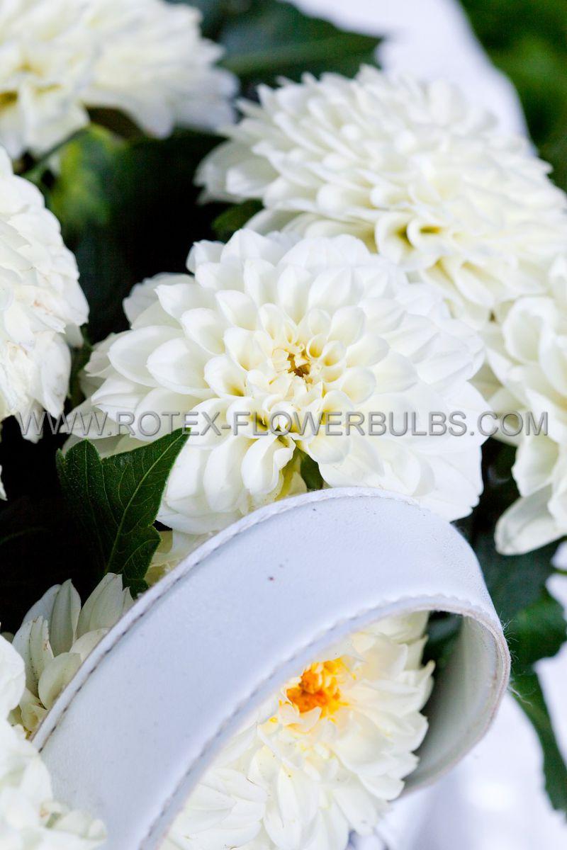 dahlia decorative wittem i 25 pcarton