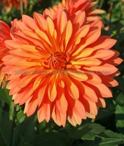 DAHLIA MELODY 'SWING' I (25 P.CARTON)