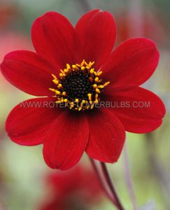 DAHLIA PEONY 'BISHOP OF AUCKLAND' I (10 PKGS.X 1)