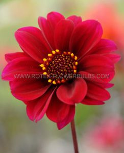 DAHLIA PEONY 'BISHOP OF CANTERBURY' I (25 P.CARTON)