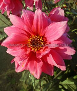 DAHLIA PEONY 'FASCINATION' I (25 P.CARTON)