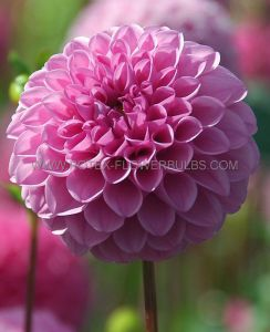 DAHLIA POMPON 'LITTLE WILLIAM' I (10 PKGS.X 1)