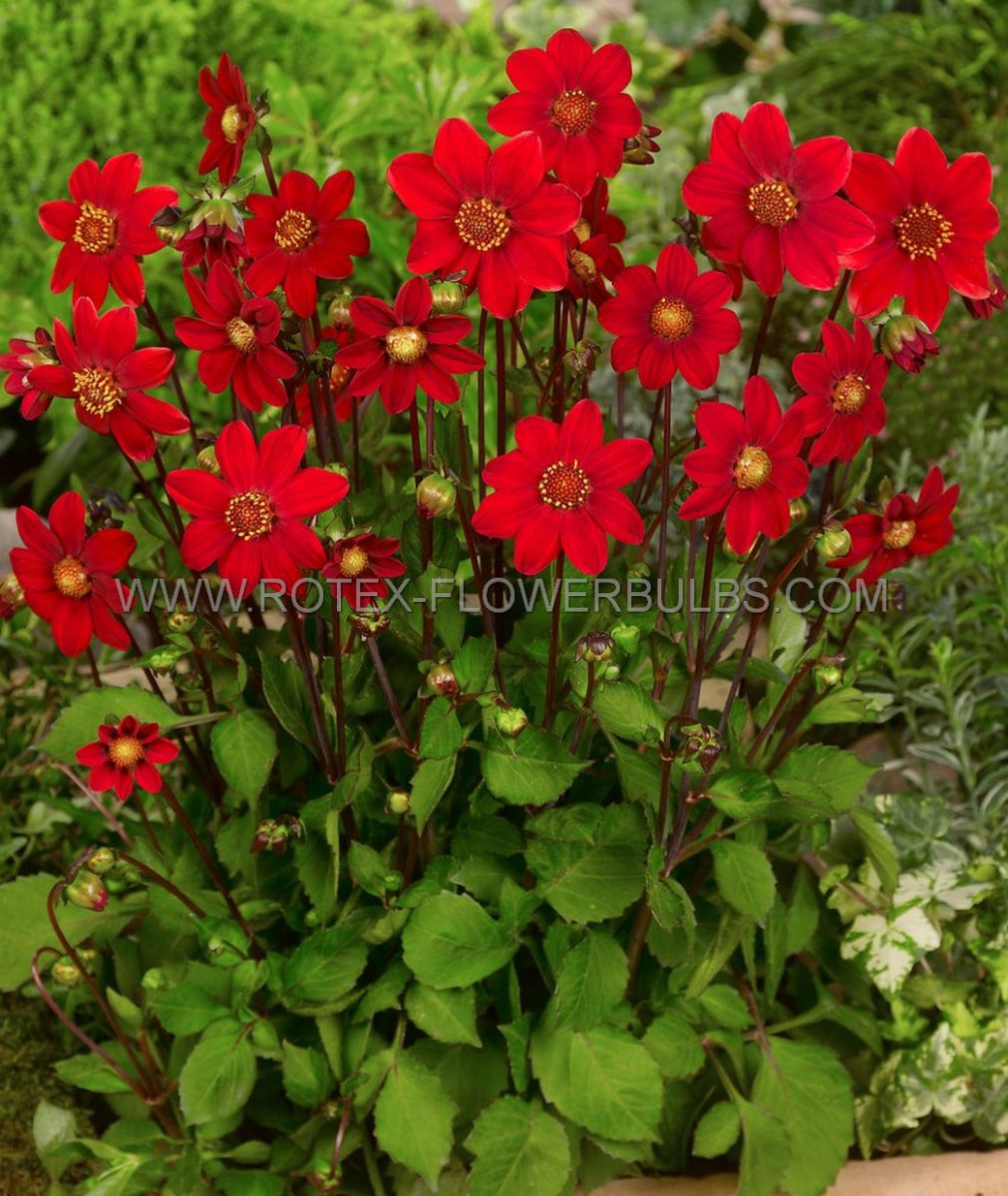 dahlia topmix borderpots red i 10 pkgsx 1