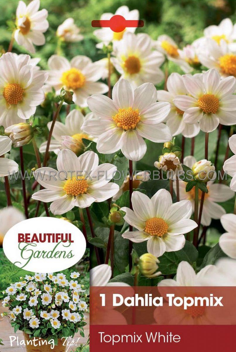 dahlia topmix borderpots white i 10 pkgsx 1