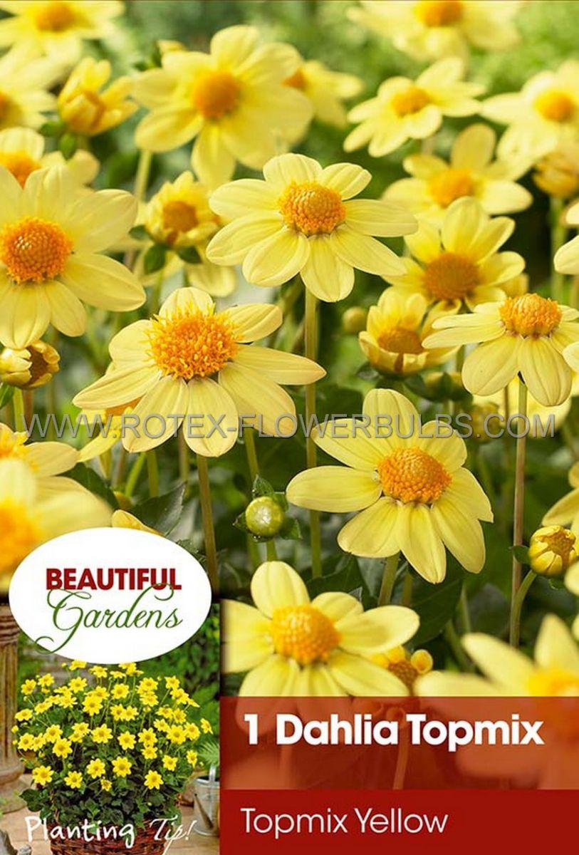 dahlia topmix borderpots yellow i 10 pkgsx 1