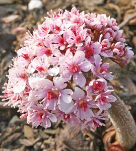 DARMERA (UMBRELLA PLANT) PELTIPHYLLUM PELTATUM I (25 P.BAG)