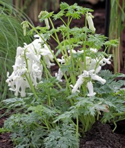 DICENTRA (BLEEDING HEART) 'IVORY HEARTS' ® VAR. (25 P.BAG)