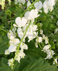 DICENTRA (BLEEDING HEART) SPECTABILIS 'ALBA' 2/3 EYE (25 P.OPEN TOP BOX)