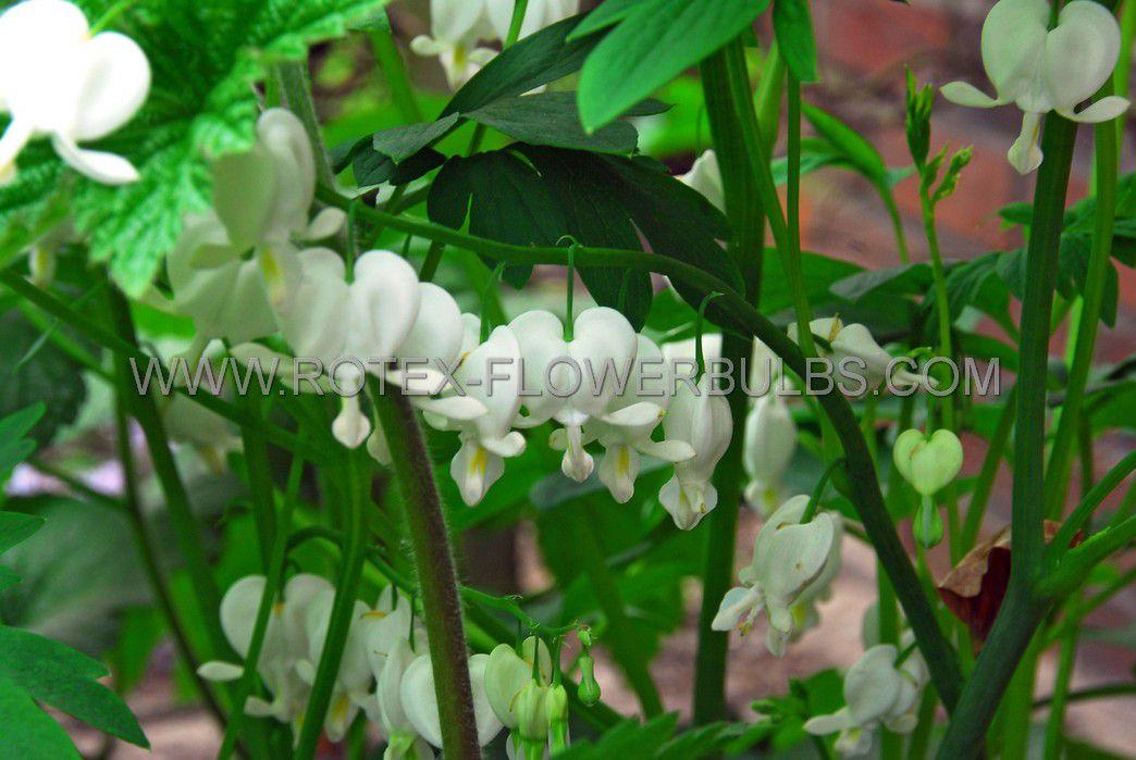 dicentra bleeding heart spectabilis alba 35 eye 25 pbag