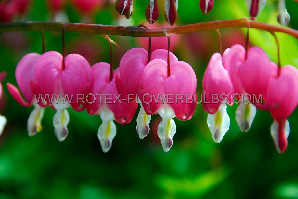 dicentra bleeding heart spectabilis pink 23 eye 10 pkgsx 1