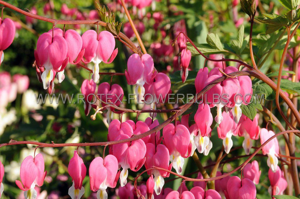 dicentra bleeding heart spectabilis pink 35 eye 25 pbag