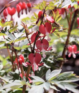 DICENTRA (BLEEDING HEART) SPECTABILIS 'VALENTINE' 2/3 EYE (25 P.BAG)