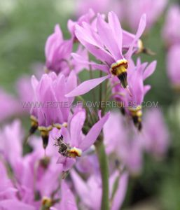 "DODECATHEON (SHOOTING STAR) HENDERSONII 'JEFFREYI"" (25 P.BAG)"