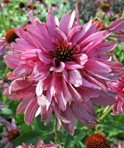 ECHINACEA (CONEFLOWER) PURPUREA 'DOUBLEDECKER' I (25 P.BAG)