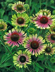 ECHINACEA (CONEFLOWER) PURPUREA 'GREEN TWISTER' I (25 P.BAG)