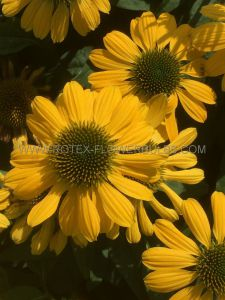 ECHINACEA (CONEFLOWER) PURPUREA 'MELLOW YELLOW' I (25 P.BAG)