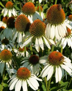 ECHINACEA (CONEFLOWER) PURPUREA 'WHITE SWAN' I (25 P.BAG)