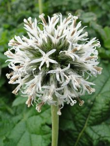 ECHINOPS (GLOBE THISTLE) GMELINII 'SNOW KING' I (25 P.BAG)