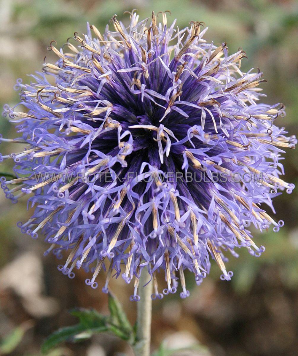 echinops globe thistle ritro veitchs blue i 25 pbag
