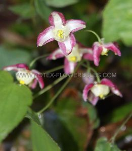 EPIMEDIUM (BARRENWORT) RUBRUM I (25 P.BAG)