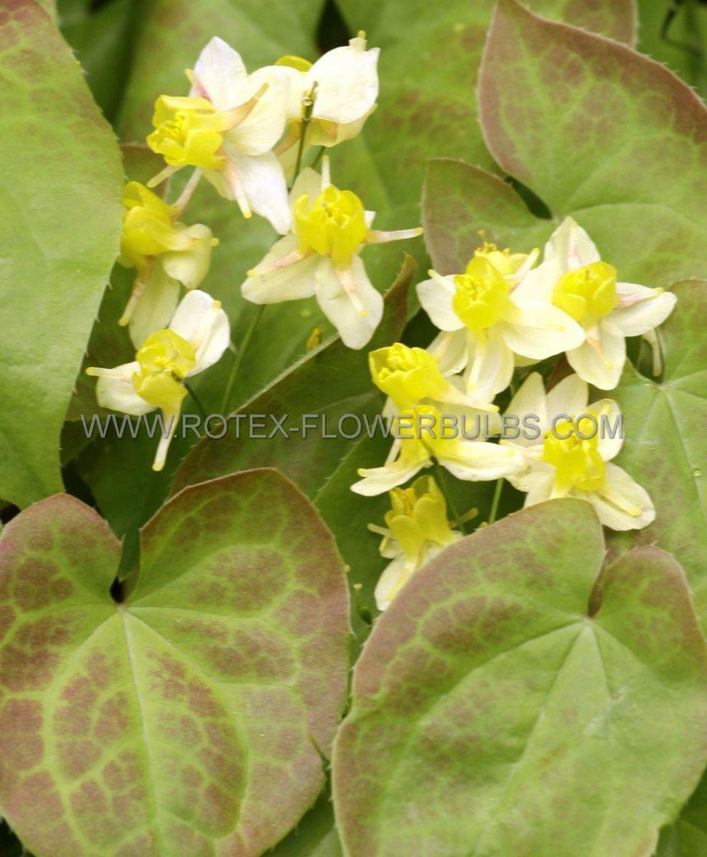 epimedium barrenwort versicolor sulphureum i 25 pbag