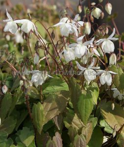 EPIMEDIUM (BARRENWORT) YOUNGIANUM 'NIVEUM' I (25 P.BAG)