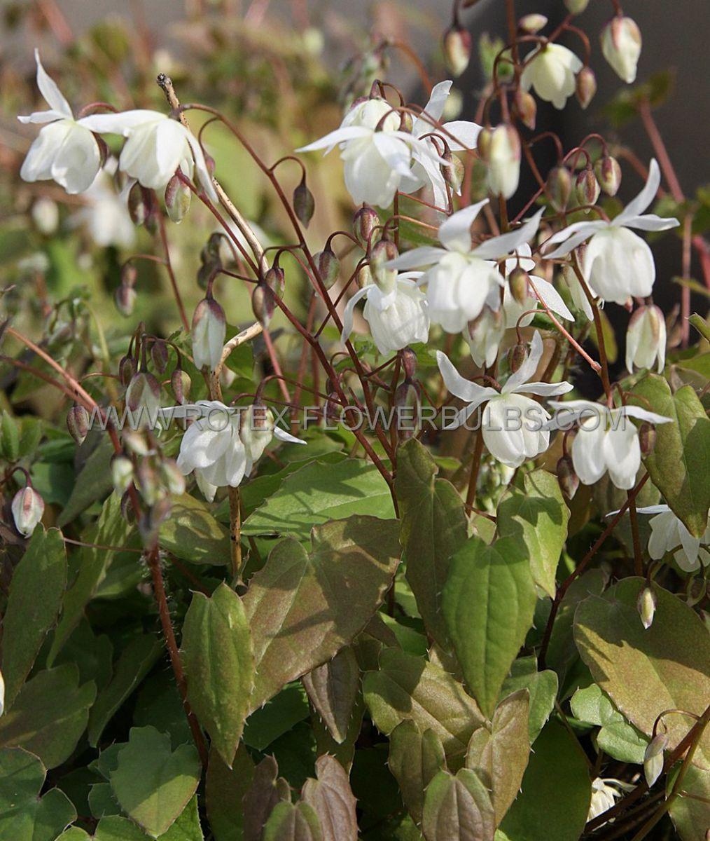 epimedium barrenwort youngianum niveum i 25 pbag