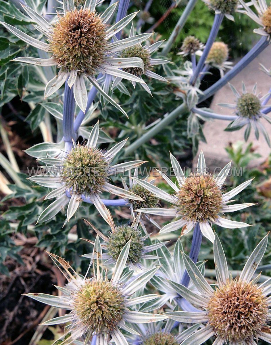 eryngium sea holly bourgatii i 25 pbag